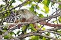 Oustalet's chameleon (Furcifer oustaleti) female Andasibe.jpg