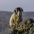 Ovis aries in Bowness-on-Windermere, England.jpg