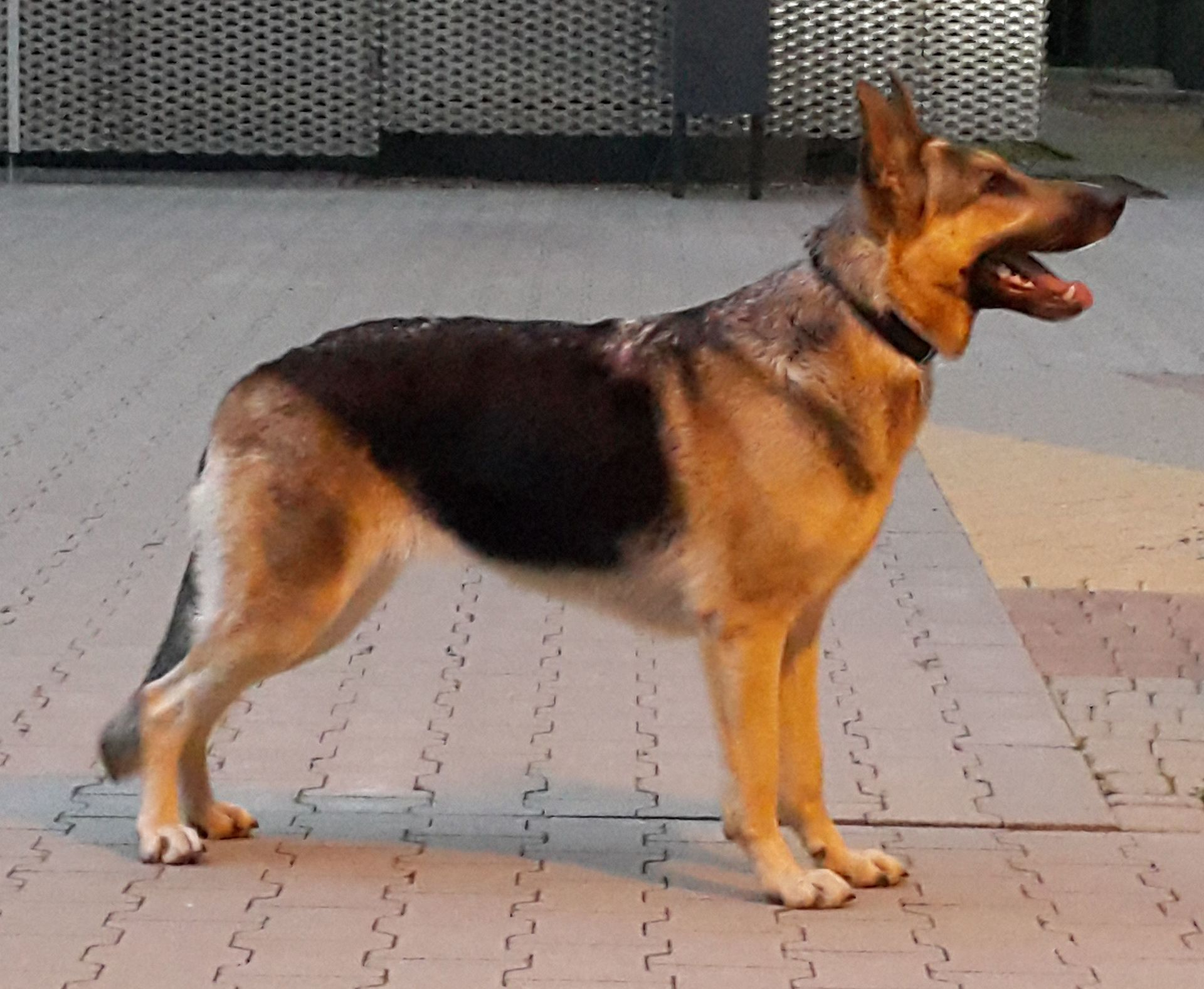 German Shepherd - Wikipedia