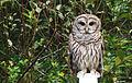 Owl DSC08737.jpg
