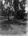 Oxskallar uppsatta i ett träd till skydd mot onda andar (Betsimisaraka) Skrift i vitt på framsidans nedre kant - SMVK - 021720.tif
