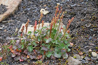 Arctic–alpine - Oxyria digyna growing in the Svalbard archipelago (Arctic; 78° N; near sea level)