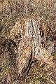 Pörtschach Winklern Quellweg Totholz eines Baumstumpfes 18022020 8336.jpg