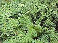 P20130109-0109—Polypodium glycyrrhiza—RPBG (15314354923).jpg