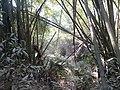 P2 Lawachara National Park, In Moulovibajar, Bangladesh.jpg