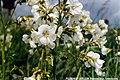 POLEMONIUM CAERULEUM.(Polémoine bleue,variété blanche).jpg