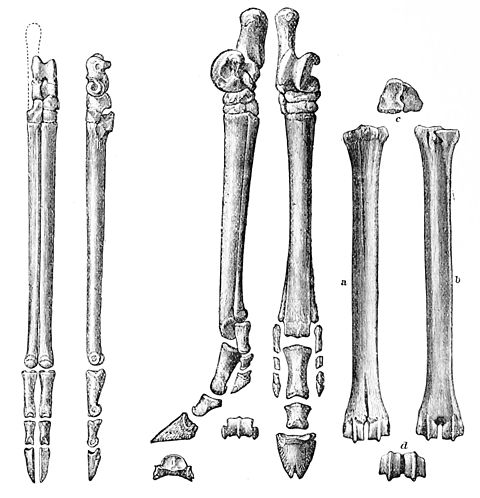 PSM V27 D815 Hind feet of primitive cameloid three toed horse and deer.jpg