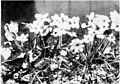 PSM V52 D465 Hepatica triloba.jpg
