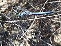 Pachydiplax longipennis-Male-2.jpg