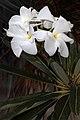 Pachypodium lamerei 5Dsr 1737.jpg