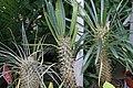 Pachypodium lamerei 8zz.jpg