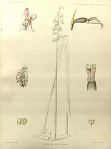Pachystoma senile - The Orchids of the Sikkim-Himalaya pl 140 (1898).jpg