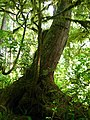 Pacific Rim National Park - Rainforest Trail (3671494518).jpg