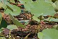 Painted snipe female-6.jpg
