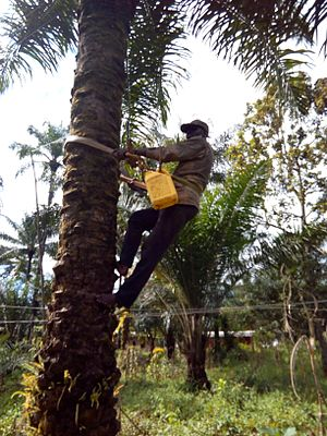 Bamunka - Palm Wine Tapping in Bamunka