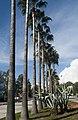 Palm trees at Çukurova University 02.jpg