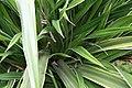 Pandanus veitchii 3zz.jpg