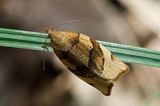 <i>Pandemis</i> Genus of tortrix moths