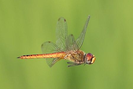 Pantala flavescens (globe_skimmer) male, in flight