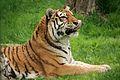 Panthera tigris at the Bronx Zoo 008.jpg