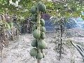 Papaya bd 2.jpg