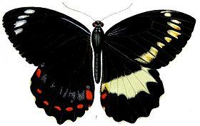 Papilio erskinei.jpg