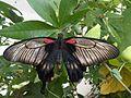Papilio memnon 3.jpg