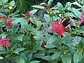 Papilio nireus 2.jpg