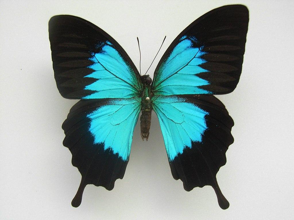 Papilio ulysses ambiguus Rothschild, 1895