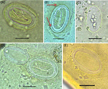Physaloptera - Wikipedia