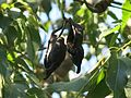Parc Gonzalez - Brachychiton populneus (fruits).jpg