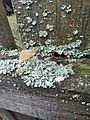 Parmelia sulcata 101324987.jpg