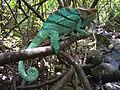 Parson's Chameleon, Ile Sainte Marie, Madagascar.jpg