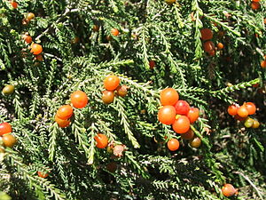 Cape Flats Dune Strandveld - Image: Passerina Ericoides Christmas Berry Plant Cape Town