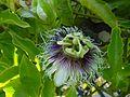 Passiflora edulis flavicarpa2563342462.jpg