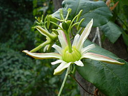Passiflora herbertiana flower1.JPG
