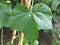 Passiflora morifolia3.jpg