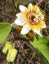 Passionflower-with-immature-fruit