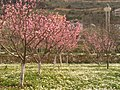 Peach trees in my garden - March 2010 - panoramio.jpg