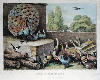 """Samuel Howitt - The fable of """"The Peacock Chosen King"""", a tinted plate from A New Work of Animals"""