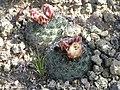 Pediocactus simpsonii in SW Idaho 2005.jpg