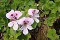 Pelargonium peltatum kz1.jpg