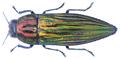 Pelecopselaphus depressus (Fabricius, 1775).png