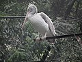 Pelican from Bannerghatta National Park 8581.JPG