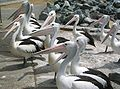 Pelicans Tuncurry NSW.jpg
