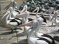 Pelicans Tuncurry NSW.jpg