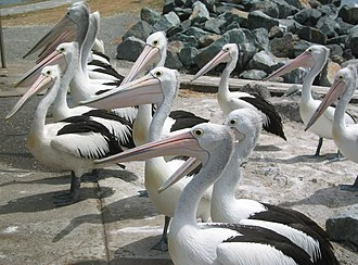 Tuncurry, New South Wales - Image: Pelicans Tuncurry NSW