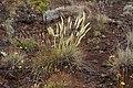 Pennisetum caffrum two colors.jpg