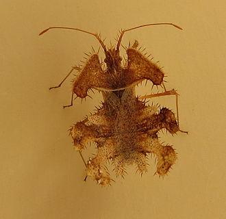 Coreidae - Image: Pephricus Coreidae IMG 3401