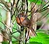 Phacellodomus ferrugineigula -Reserva Guainumbi, Sao Luis do Paraitinga, Sao Paulo, Brasil-8